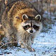 Common Raccoon Poster