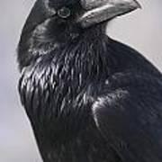 Common Raven, Jasper National Park Poster