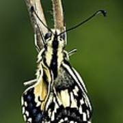 Common Swallowtail Butterfly Poster