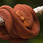 Common Tree Boa Corallus Hortulanus Poster