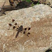 Common Whitetail Dragonfly Poster
