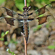 Common Whitetail Dragonfly - Plathemis Lydia - Female Poster