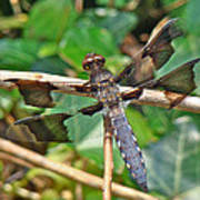Common Whitetail Dragonfly - Plathemis Lydia - Male Poster