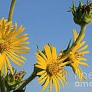 Compass Plant Poster