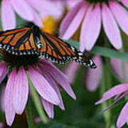 Cone Flowers And Monarch Butterfly Poster