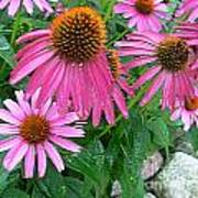 Cone Flowers In Bloom Poster