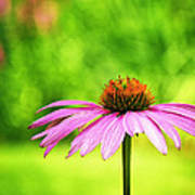 Coneflower In Pink And Green Poster