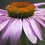Coneflower Visitor Poster