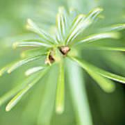 Conifer Leaves Poster