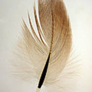 Contour Feather Poster