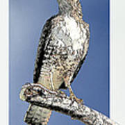 Cooper's Hawk Poster