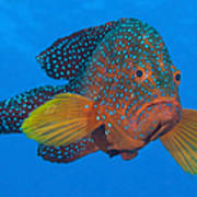 Coral Grouper, Kimbe Bay, Papua New Poster