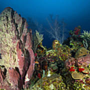 Coral Reef And Sponges, Belize Poster
