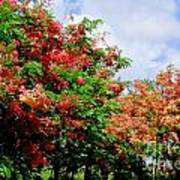 Coral Shower Trees Poster