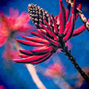 Coral Tree Flower Poster