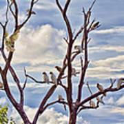 Corella Tree Poster