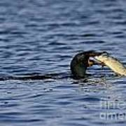 Cormorant Catches A Fish Poster