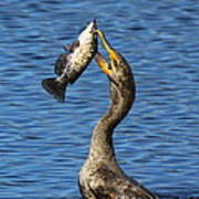 Cormorant Catches Catfish Poster