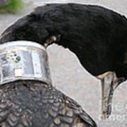 Cormorant With Radio Collar Poster