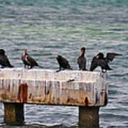 Cormorants Key West Poster