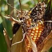 Corn Harvest 1 Poster