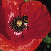 Corn Poppy Flower Poster