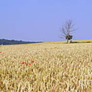 Cornfield With Poppies Poster