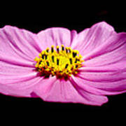 Cosmia Pink Flower Poster