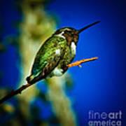 Costa's Hummingbird Poster