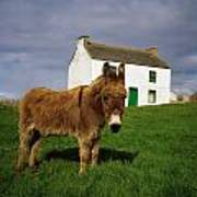 Cottage And Donkey, Tory Island Poster