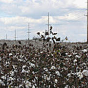 Cotton Ready For Harvest In Alabama Poster