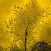 Cottonwood Tree April 2012 In Gold Poster