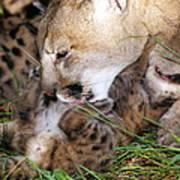 Cougar Mother Licks Kitten Poster