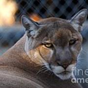 Cougar Portrait - Sad Eyes Poster
