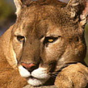 Cougar Relaxing. . . Poster
