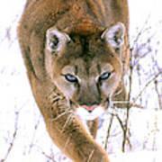 Cougar Stalks Through Snow Poster