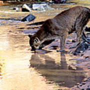 Cougar Stops For A Drink Poster
