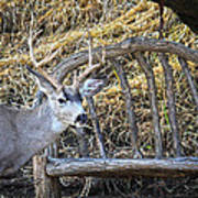 Country Buck Poster