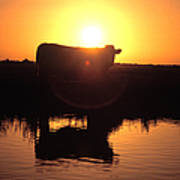 Cow At Sundown Poster by Picture Partners and Photo Researchers