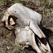 Cow Skull Poster