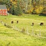 Cows Grazing On Grass In Farm Field Fall Maine Poster