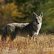 Coyote On A Fall Meadow Poster
