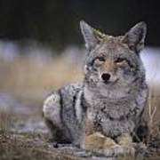 Coyote Resting In Winter Grass, Snowing Poster