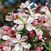 Crabapple Tree Flower Poster