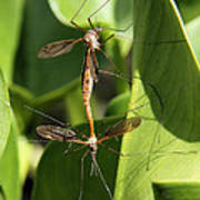 Crane Flies Mating Poster