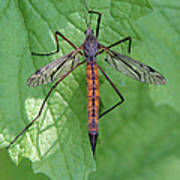 Crane Fly Poster