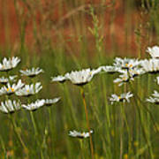 Crazy Lazy Oxeye Daisies Poster