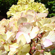 Cream Pink Hydrangea Flowers Art Prints Floral Poster