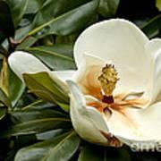 Creamy Magnolia Poster