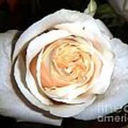 Creamy Rose I Poster